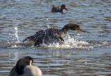 Cormorant capades: Racing ahead (1/4)