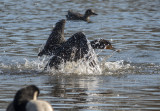 Cormorant capades: Resurfacing (2/4)