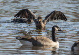 Cormorant capades: Taking a breather (3/4)