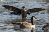 Cormorant capades: Air dry (4/4)