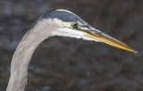 Portrait of a heron