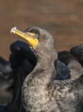 Portrait of a cormorant