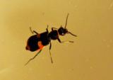Blåsbaggar - Malachidae