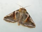 Lasiocampidae - Ädelspinnare