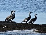 Cormorants - Storskarv