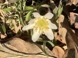Vitsippa - Anemone nemorosa.jpeg