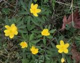 Gulsippa - Anemone ranunculoides.jpeg