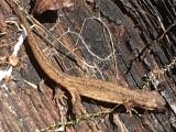 Lissotriton vulgaris - Mindre vattensalamander.jpg