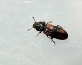 Barkbaggar - Zopheridae
