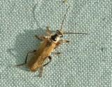 Flugbaggar - Cantharidae
