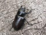Ekoxbaggar - Lucanidae