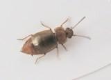 Kortvingar - Staphylinidae