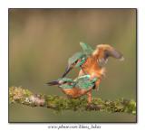 King Fisher / Ijsvogel