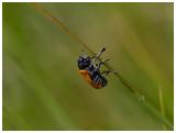 Chrysomelidae spec.