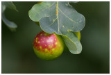 Oak apple