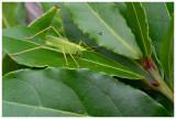 Meconema thalassinum