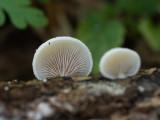 Pleurotellus chioneus