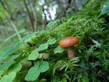 Clover, moss and mushroom