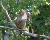 Monkey along Silver River