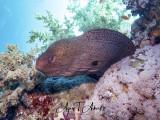 Giant moray - Riesenmuräne
