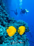 Always as a couple: the yellow masked butterflyfish