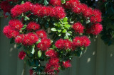 NZ Christmas Bush (Pohutukawa) flourishes all over the Port Albert township