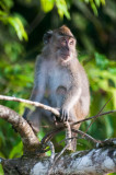 Long-tailed macaque, Kinabatangan River