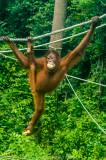 Rescued from captivity: at Sepilok Orangutan Rehabilitation Centre