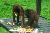 Lunchtime at the Sepilok Rehab Centre