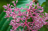 Medinilla, a prominent flowering plant around the foot of Mt Kinabalu