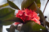 An endemic rhododendron in flower beside the Mt Kinabalu trail