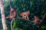 Family of short-tailed macaques, Kinabatangan River