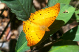 Unidentified butterfly on the lower slopes of Kinabalu (Eliot's Bush Brown / Mycalesis patiana?)