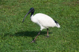 Native egret roaming the lawns at Mt Coot-tha Botanic Gardens