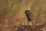 Eastern Meadowlark Singing at Dusk
