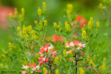 Indian Paintbrush and ?