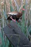 Black-bellied Whistling Ducks - Fallen Nest Box