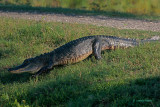 American Alligator -crossing road