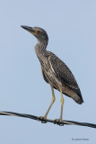 Yellow-crowned Night Heron - juve