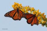 Monarchs Migrating