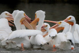American White Pelicans - food fight