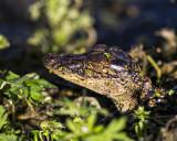 5F1A7731 Baby Alligator.jpg