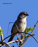 5F1A7743 Sparrow.jpg