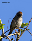 5F1A7744 Sparrow.jpg