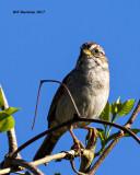 5F1A7745 Sparrow.jpg