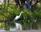 5F1A7837 Great Egret.jpg