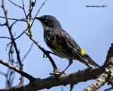 5F1A7853 Yellow-rump Warbler.jpg