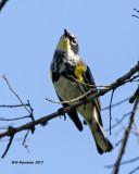 5F1A7862 Yellow-rump Warbler.jpg