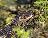 5F1A7876 Baby Alligator.jpg
