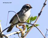 5F1A7740 Sparrow.jpg